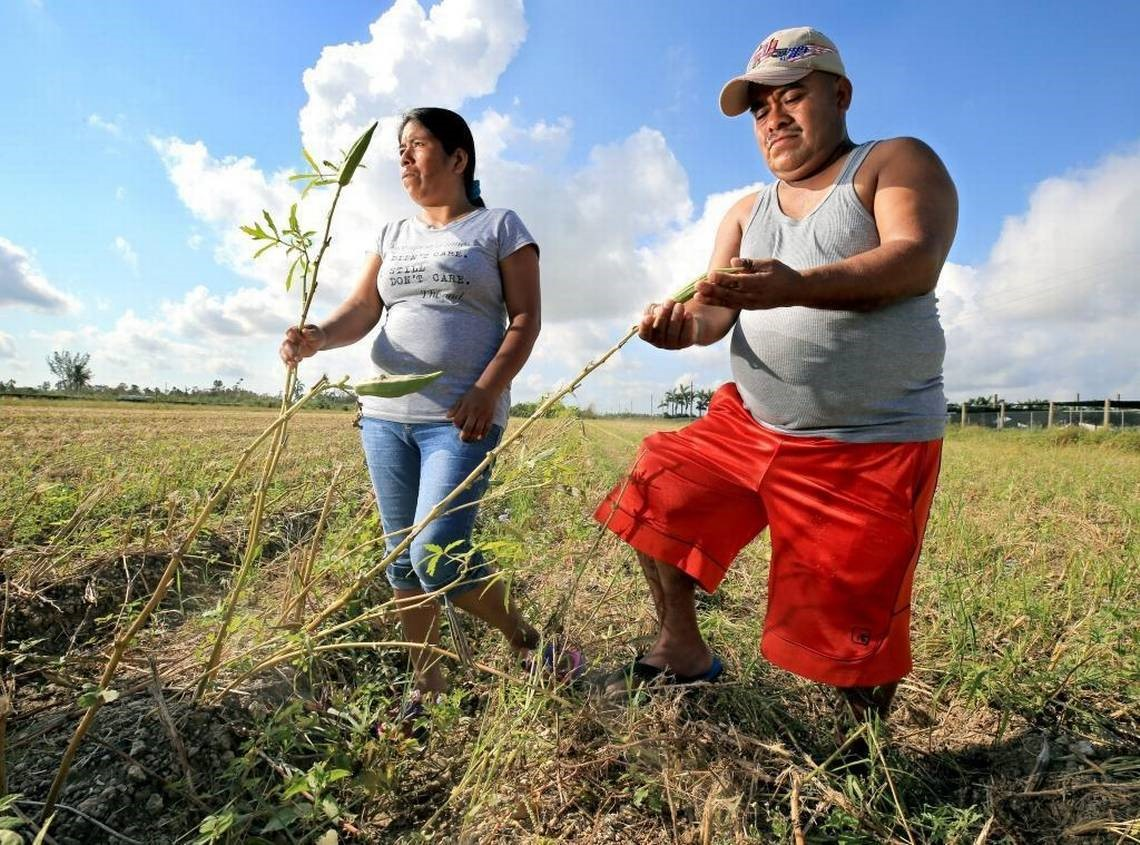 South Dade Farmworkers in damaged field after Hurricane Irma Photo Credit Al Diaz Miami Herald